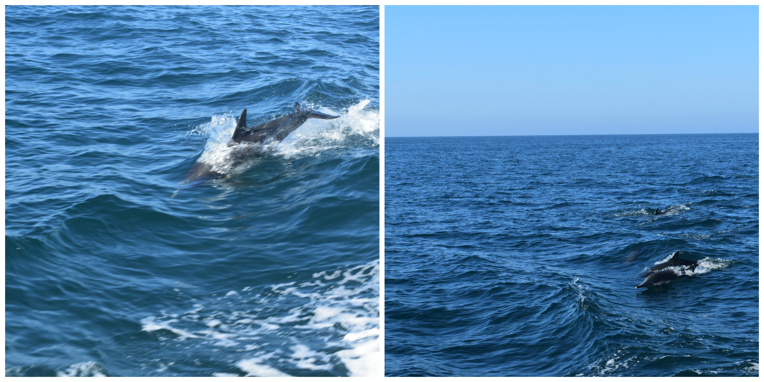 dolphin-collage-1